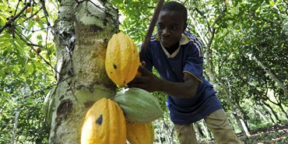 La production camerounaise de cacao atteint 232 000 tonnes - Les cabinets de recrutement au cameroun ...