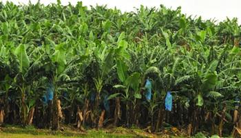 La banane africaine menac e par un champignon venu d asie - Les cabinets de recrutement au cameroun ...