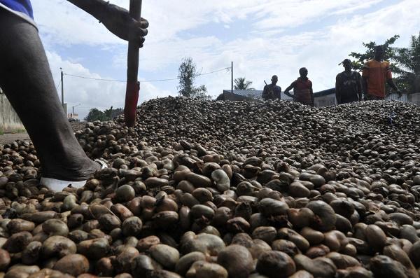 Côte d'Ivoire : forte poussée de la récolte de noix de cajou en 2015