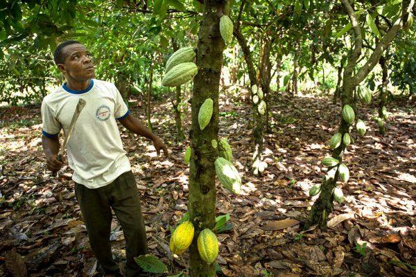 Cacaoyère près de Kpalimé, dans la région des Plateaux.