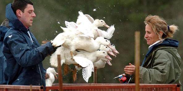 Le Gabon interdit l'importation de volaille française