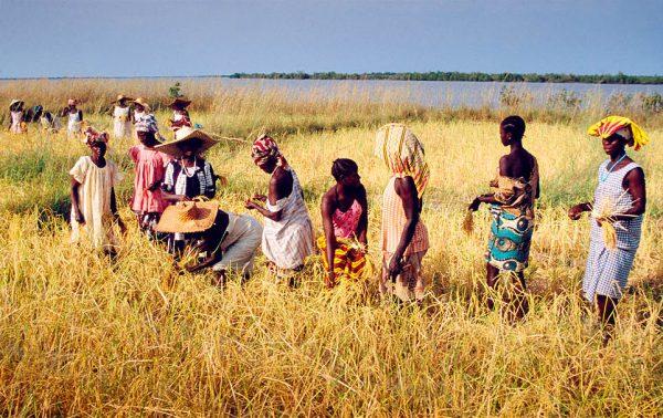 En Casamance, première région rizicole du pays.