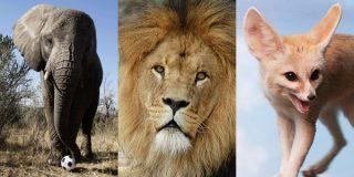 Les animaux totémiques sont censés offrir les vertus dont ils sont parés à ceux qui s'en inspirent…