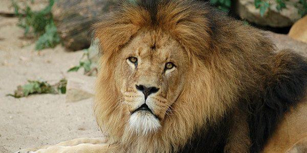 Le lion symbolise l'essence même de la force car il n'a pas de prédateur..