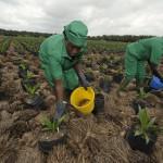 Des plantations d'huiles de palmes à Irobo, en Côte d'Ivoire, le 12 juin 2013.