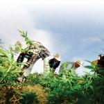 Destruction d'une plantation de cannabis à Larache, dans le nord du royaume.