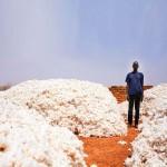 Bon Thiahoun, un producteur de coton OGM du village de Pê (Houndé, dans le sud-ouest du Burkina), au milieu de la récolte de l'année dernière.