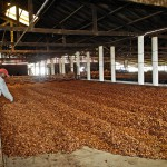 Séchage des fèves de cacao à la Finca Sampaka, près de Malabo.