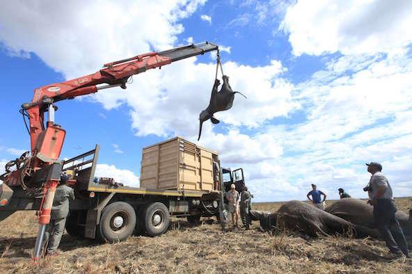 Un éléphant est chargé sur un camion à l'aide d'une grue en vue de son transfert, dans le parc national de Liwonde, le 12 juillet 2016.