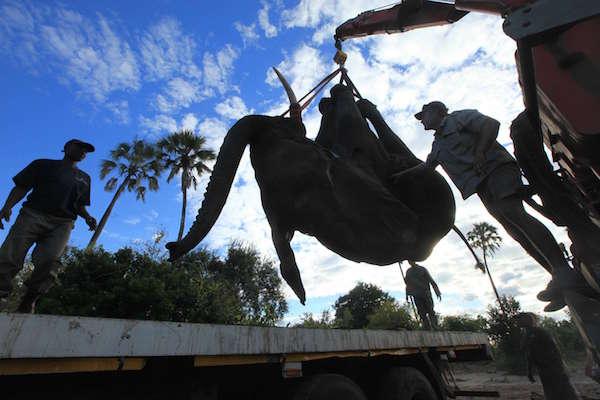 Éléphant chargé sur un camion à l'aide d'une grue en vue de son transfert dans la réserve de Nkhotakota, le 12 juillet 2016, dans le parc national de Liwonde.