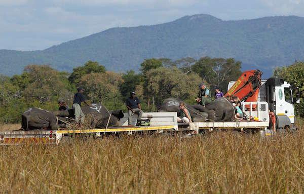 Éléphants chargé à bord d'un camion en vue de leur transfert dans le parc de Liwonde, dans le sud du Malawi, le 12 juillet 2016.
