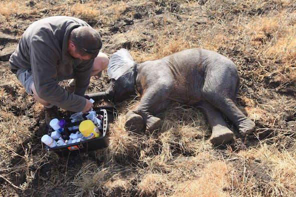 Un vétérinaire examine l'état de santé d'un bébé éléphant, artificiellement endormi, dans le parc national de Liwonde, dans le sud du Malawi, le 12 juillet 2016.