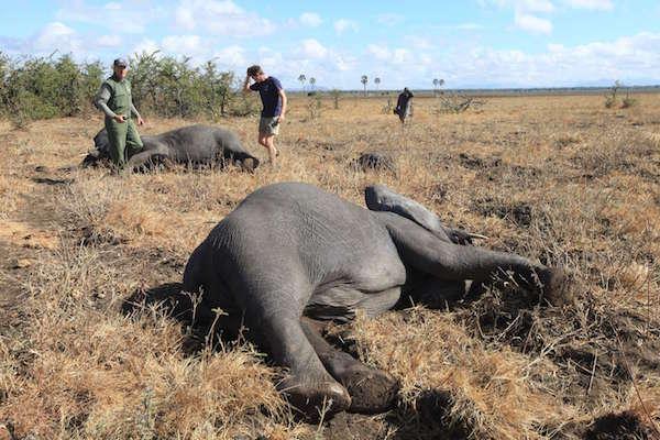 Des éléphants artificiellement endormis gisent sur le sol, dans le parc national de Liwonde, dans le sud du Malawi, le 12 juillet 2016.