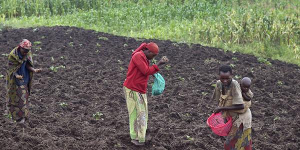 Des paysans travaillant dans un champ de pommes de terre, près de Bujumbura, le 14 décembre 2015.