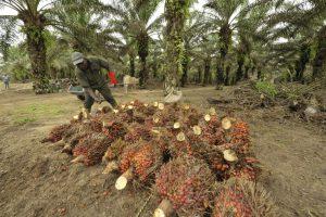 Plantations d'huile de palme à Irobo. Le 12 juin 2013. Côte d'Ivoire