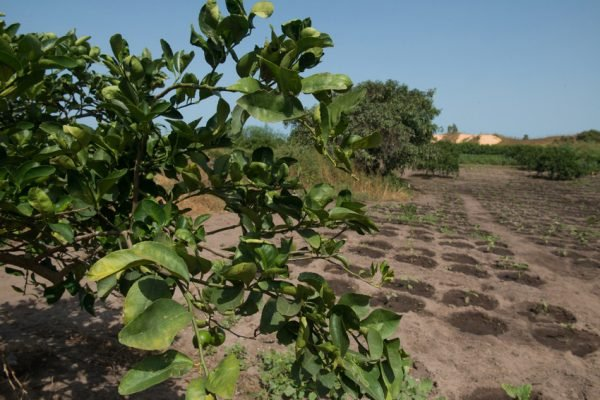 Exploitation agricole de manguiers à Gorom (Sénégal). le 22/10/2016.