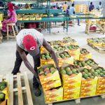 À Dakar, l'entreprise Safina récolte et trie les mangues destinées à la France.