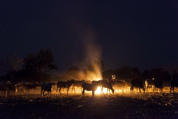 Un troupeau de vaches appartenant à des éleveurs peuls, à la nuit tombée.