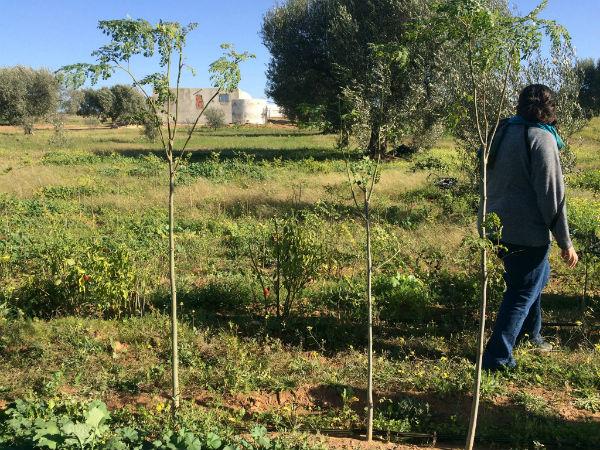 Un champ d'acacias.