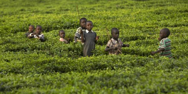 Des enfants s'amusent dans une champ de thé à la fin de la journée, à Arwos, dans l'ouest du Kenya, en janvier 2016.