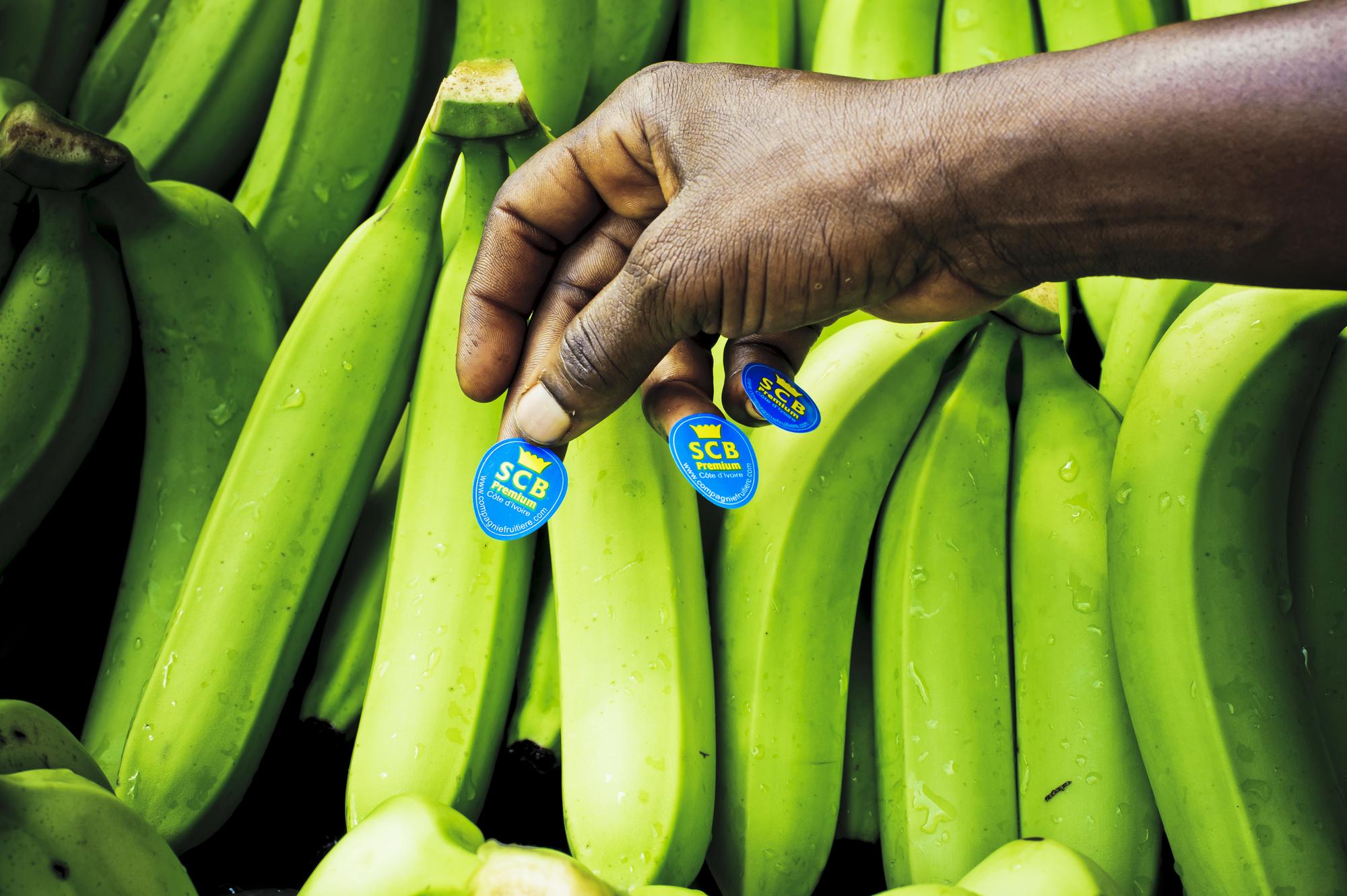 Régimes de la Société de culture bananière, filiale de la Compagnie fruitie