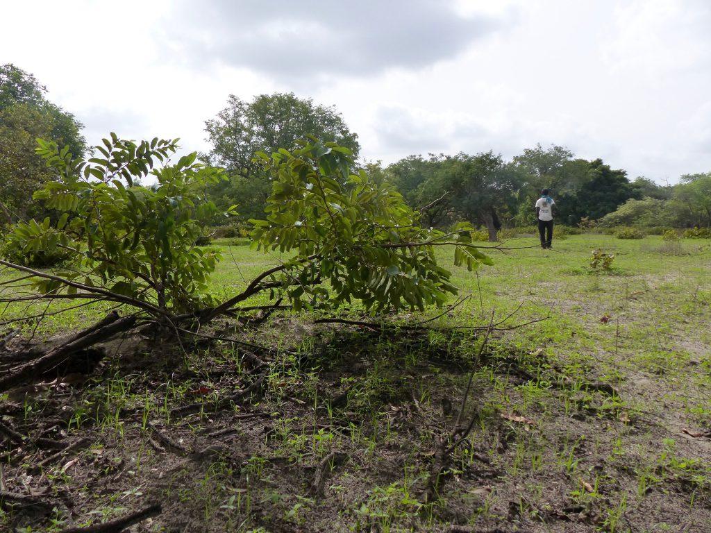 Jean-Dominique Senghor dans la zone qui a brûlé pendant la dernière saison sèche. Arbres calcinés, branches brisées et tas de cendres ont remplacé le décor.