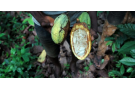 Récolte de cacao en Côte d'Ivoire en 2015. (Photo d'illustration)