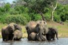 Un groupe d'éléphants dans le Delta du Okavango, au Botswana, en 2013.