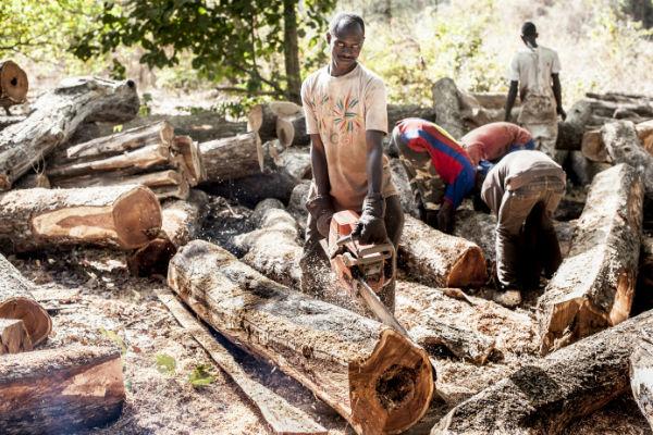 Exploitations du bois en Guinée Bissau, pays frontalier de la Casamance où la Constitution interdit - en théorie - l'exportation de bois.