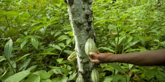Cameroun : bonne campagne pour la filière cacao
