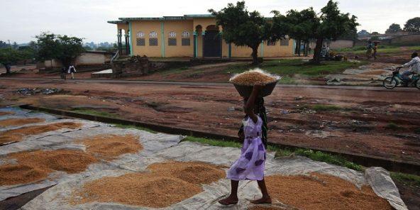 Séchage traditionnel du riz dans la région de Bouaké, Côte d'Ivoire.