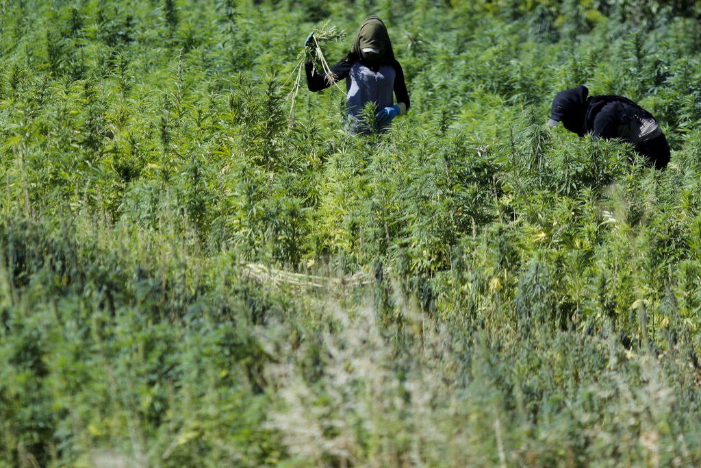 Des travailleurs masqués dans un champ de cannabis dans le village de Yammoune, à 25 kilomètres au nord-ouest de la ville de Baalbek, dans la vallée de la Bekaa au Liban.