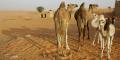 Chameaux dans le désert, près de Chinguetti, en Mauritanie (image d'illustration).