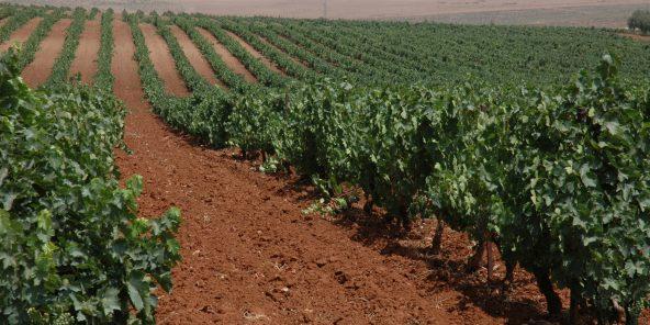 Des vignes dans la région de Meknès, en juillet 2015.