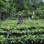Pépinières de la coopérative cacaoyère «Que Luz» , à Sao Tome.