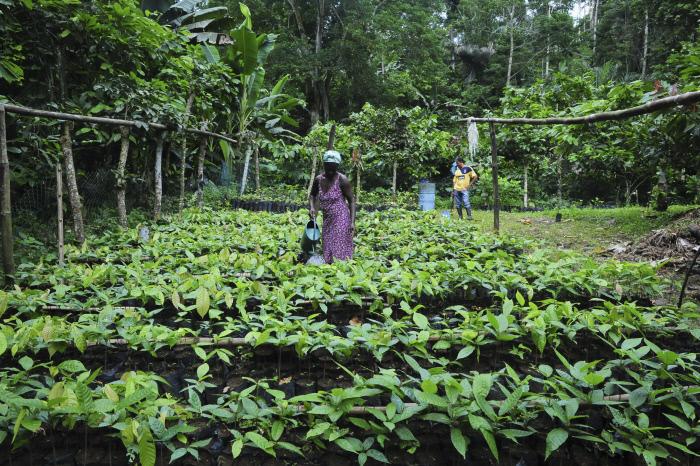 Pépinières de la coopérative cacaoyère