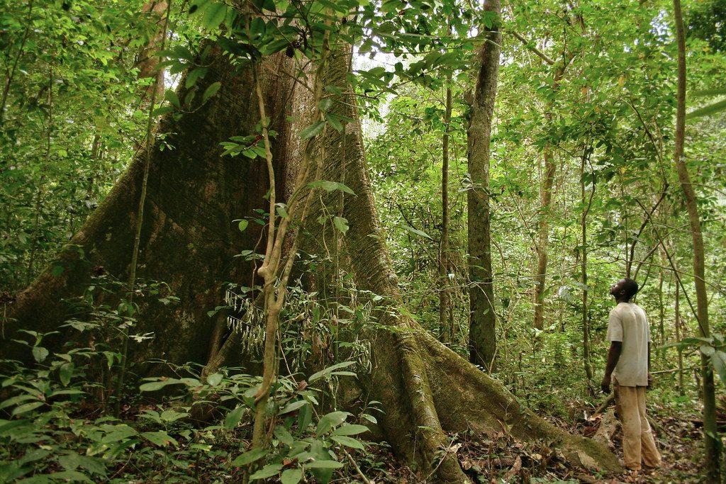 Dans la forêt primaire de la province de l'Estuaire, au Gabon, en 2006 (Illustration)