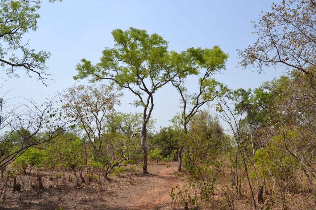 La Forêt de Kua, près de Bobo Dioulasso au Burkina Faso (Illustration)