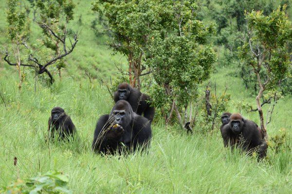 Gorilles des plaines de l'ouest, de la réserve naturelle de gorilles de Lésio-Louna (RNGLL)© DR Fondation Aspinall