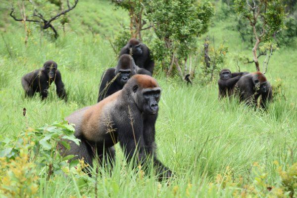 Gorilles des plaines de l'ouest, de la réserve naturelle de gorilles de Lésio-Louna (RNGLL)