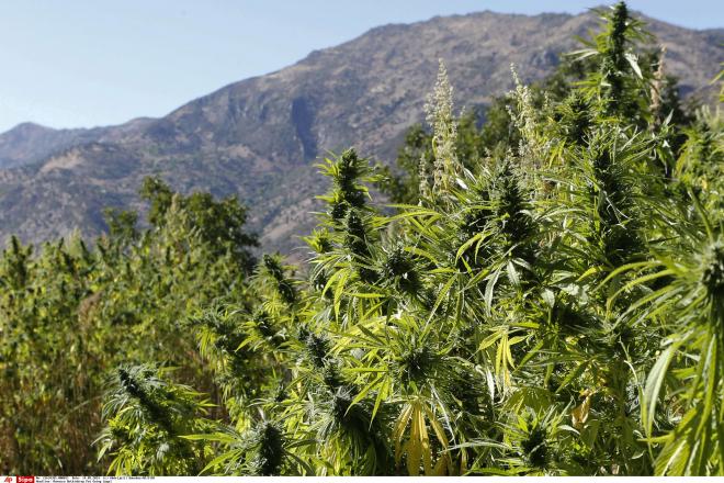 Maroc : le débat sur la légalisation de la production de cannabis relancé