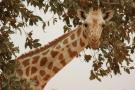 Une girafe dans les environs de Niamey, en 2016 (illustration).