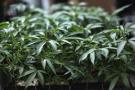 De la marijuana pousse dans une ferme de cannabis en Californie, le 15 août 2019.