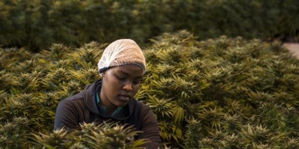 Précurseur dans ce domaine, le Lesotho a dès 2008 adopté une législation rendant possible la culture, la transformation et l'exportation du cannabis pour un usage médical.