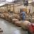 Dans une usine de prodution de tabac au Zimbabwe.