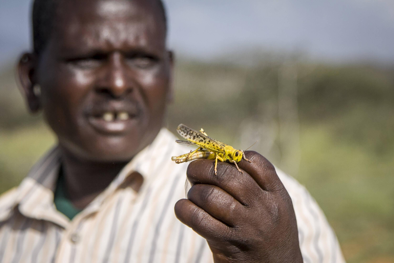 Photo d'un criquet prise le 16 janvier 2020, au Kenya.