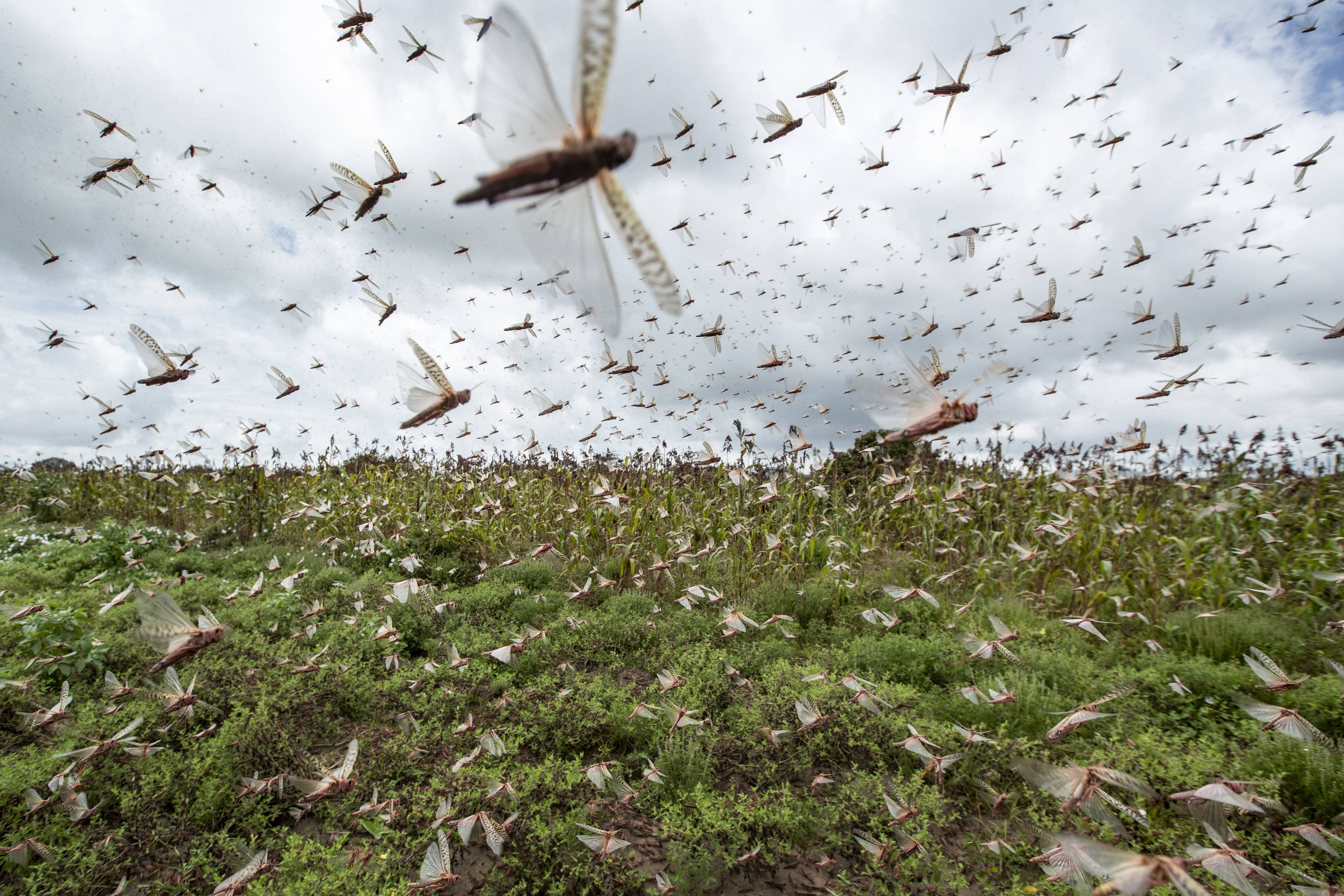Des essaims de criquets au Kenya, le 24 janvier 2014
