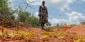 Une fermière kényane de la région de Kyuso inspecte son champs dévasté après le passage d'un essaim de criquets pèlerins.