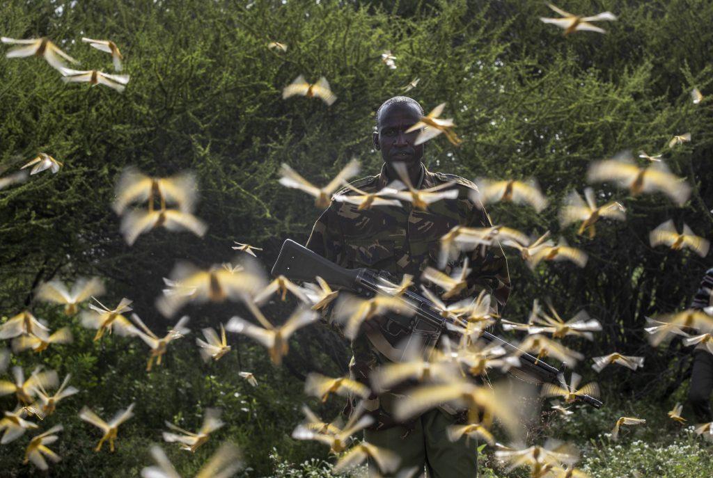 Un ranger kényan, au milieu d'un essaim de criquets pèlerins, envoyé sur le terrain pour indiquer les corrdonnées de l'essaim aux pilotes d'avions pulvérisateurs de pesticides.