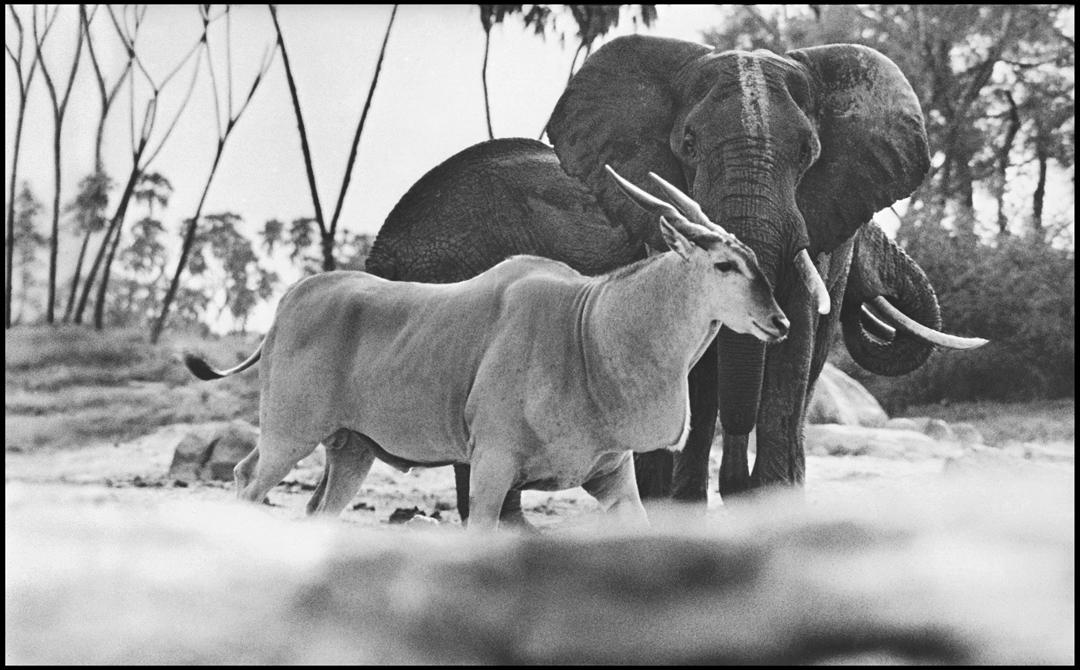 Dans le parc national de Tsavo, au Kenya, en 1965.